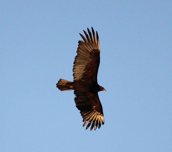 Vulture - Azadiax's Photos