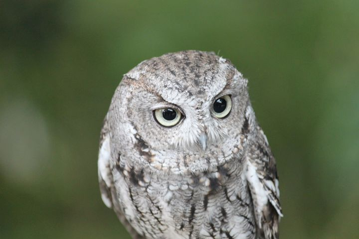 Western Screech Owl - Azadiax's Photos