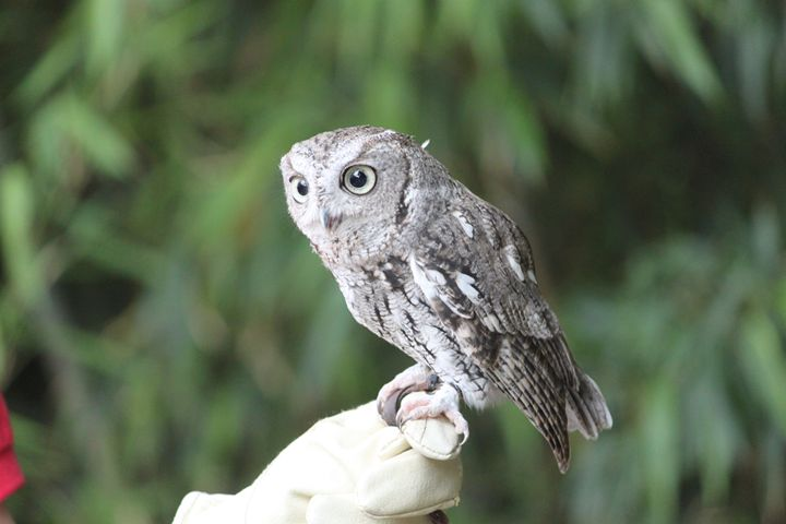 Western Screech Owl 2 - Azadiax's Photos