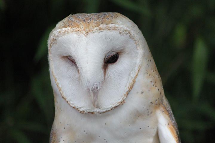 Barn Owl - Azadiax's Photos