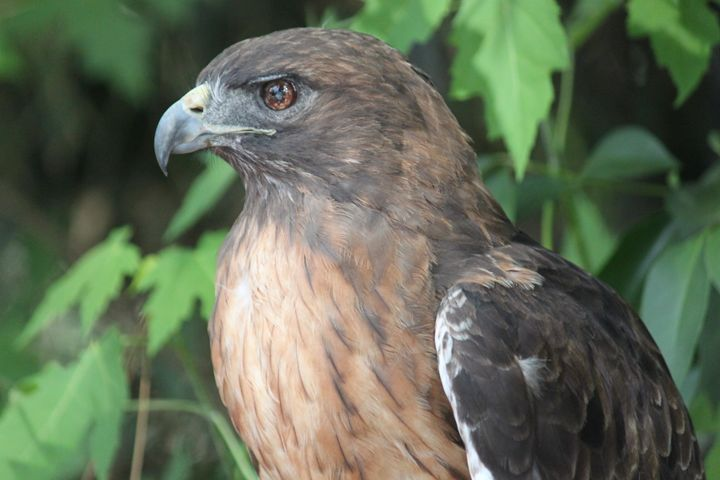 Red-Tailed Hawk 2 - Azadiax's Photos