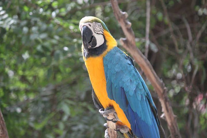 Blue-and-Yellow Macaw - Azadiax's Photos