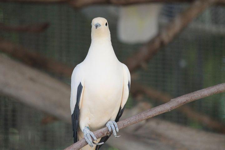 Dove - Azadiax's Photos