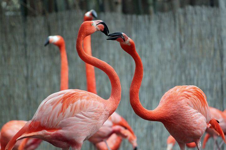 American Flamingo - Azadiax's Photos