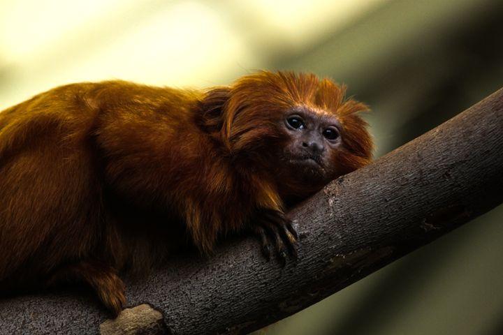 Golden Tamarin Monkey - Azadiax's Photos