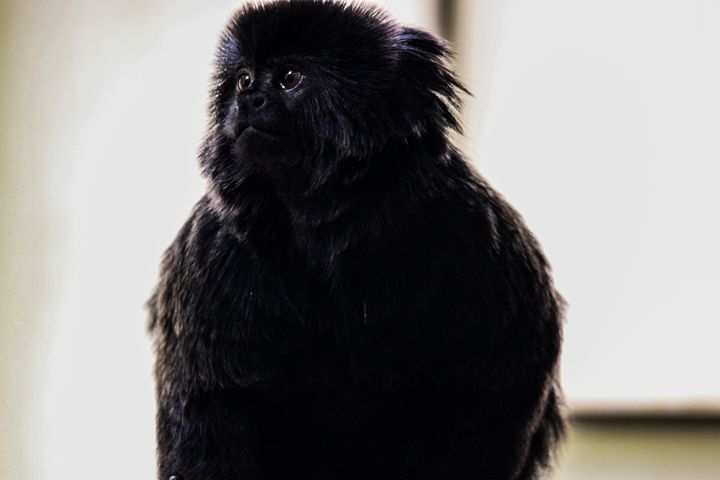 Goeldi's Marmoset - Azadiax's Photos