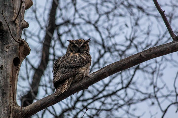 Great Horned Owl - Azadiax's Photos