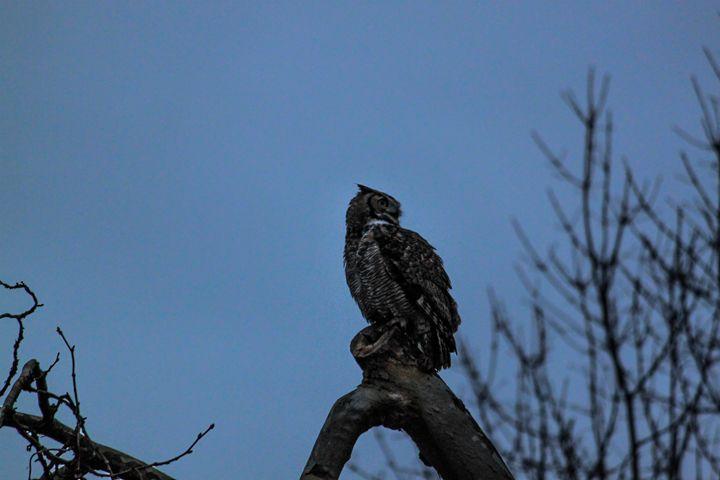 Great Horned Owl - Azadiax's Photos