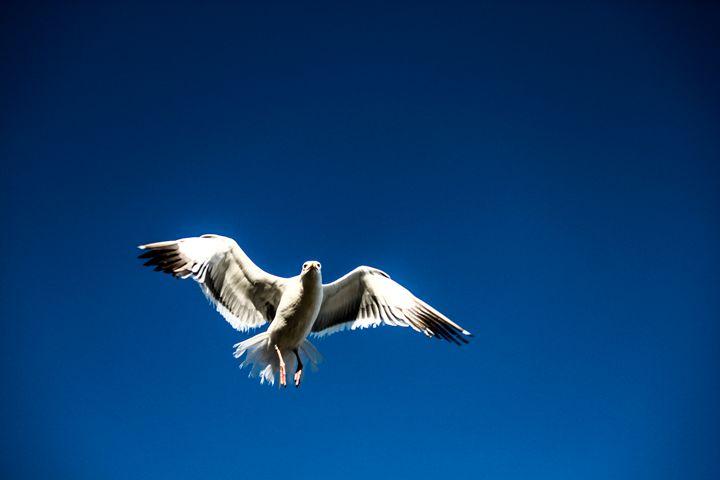 Seagull - Azadiax's Photos