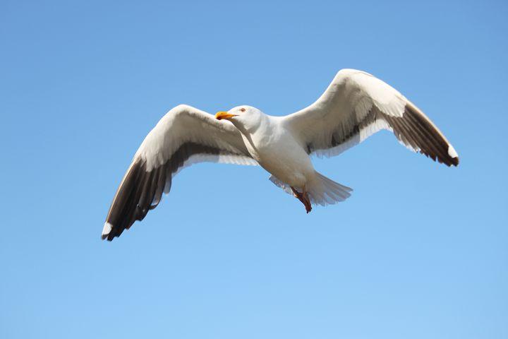 Seagull flying 2 - Azadiax's Photos