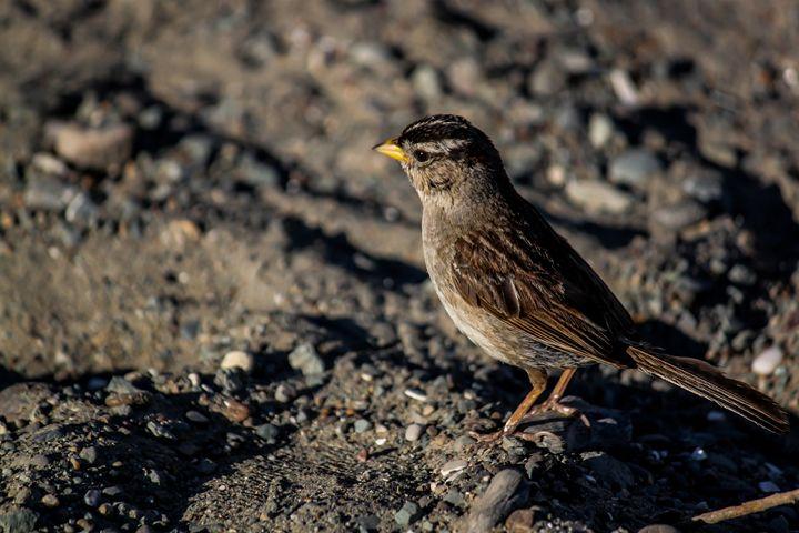 White Crowned Sparrow - Azadiax's Photos
