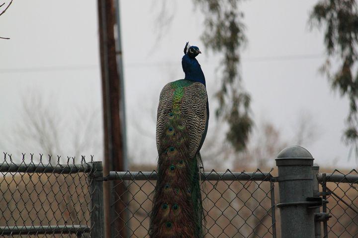 Peacock - Azadiax's Photos