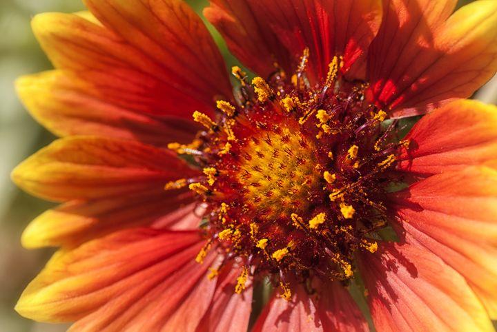 Blanket Flower - MaryLanePhotography