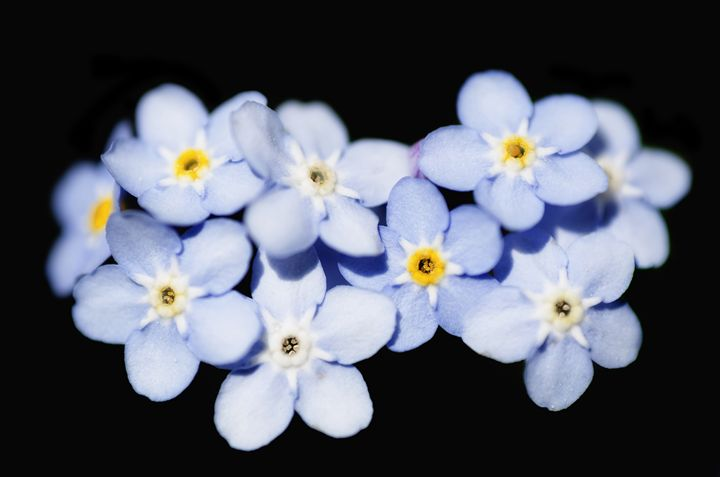 Forget Me Not - MaryLanePhotography