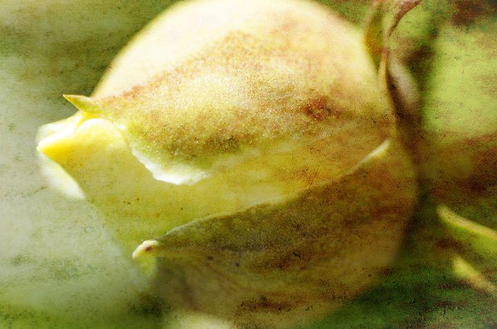 Yellow Peony - MaryLanePhotography
