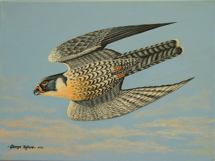 Peregrine Falcon - george telford