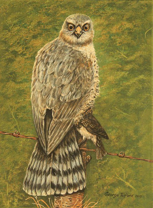 A Sparrow Hawk,Ready to Dine - george telford