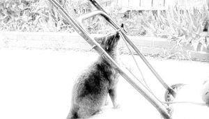 Kitty Cat loves lawnmower?