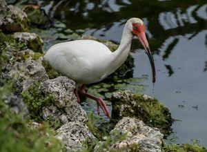 Ibis - Images by Simeone
