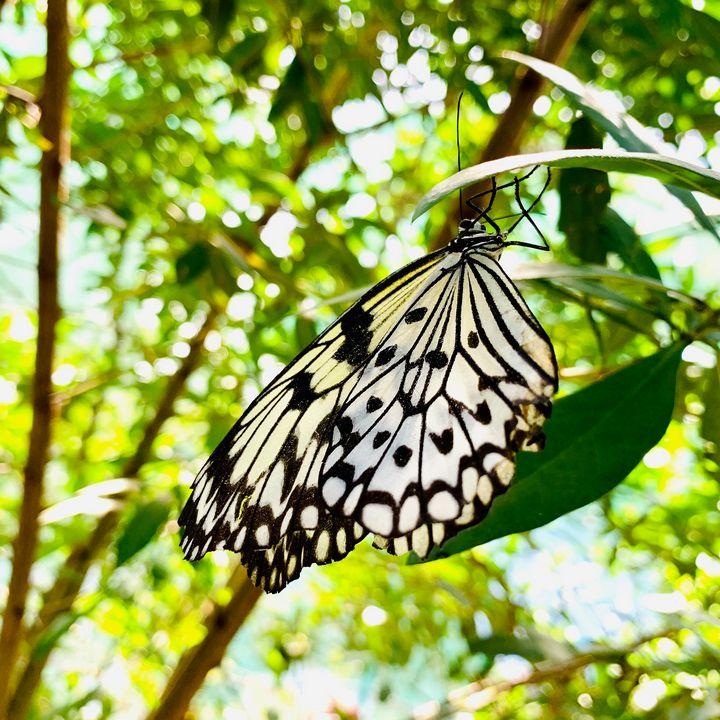 Butterfly - terai.nb