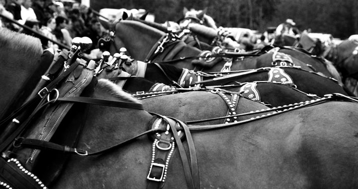 Heavy Horses - Megan Thompson Photography