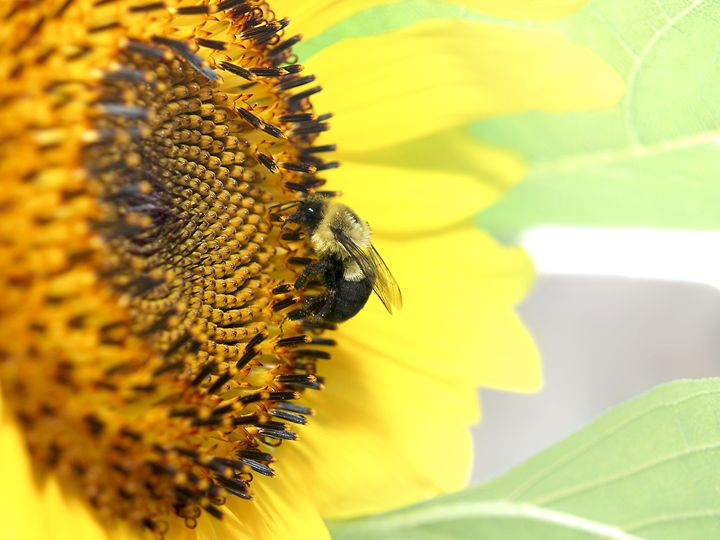 Honey Bee Sunflower - Fine Art by Christopher Zeiders