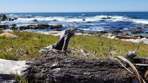 Log at Spanish Bay