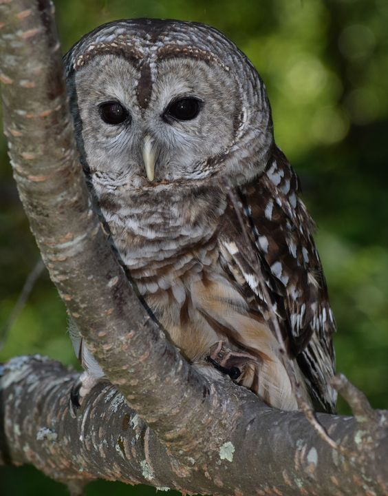 Barred Owl - NATURE WORKS