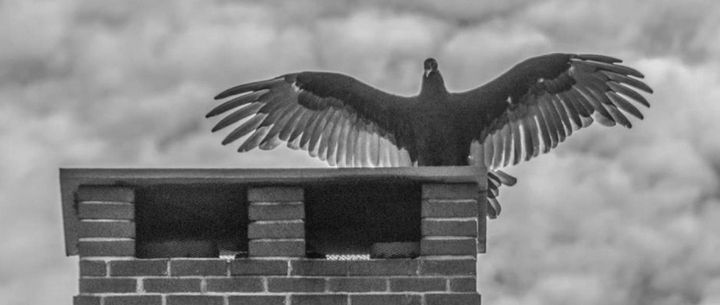 Turkey Vulture - Photography By Helen