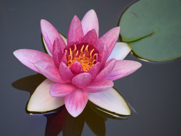 Lotus Flower - Photography By Helen