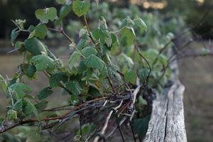 Nature: Vines