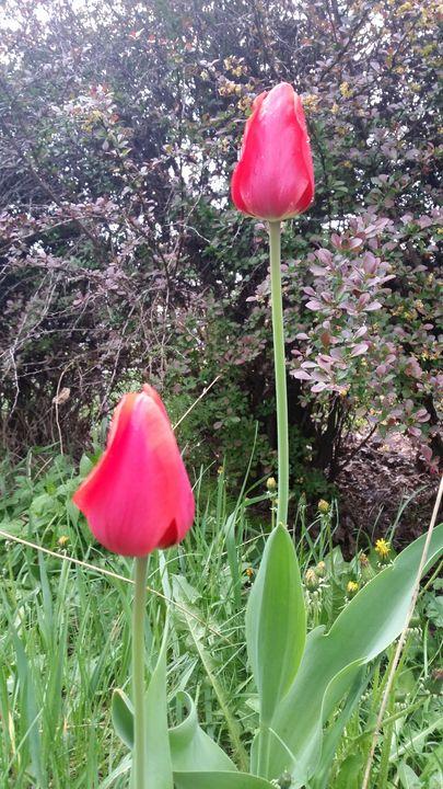 Tulips - Keribleu Art