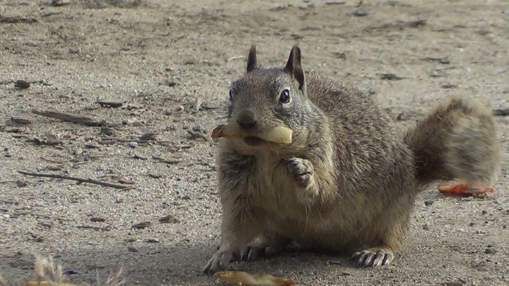 Frenchie the Squirrel - Xena Warrior Princess Fan