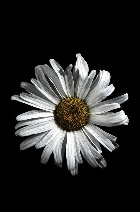 Dark Daisy - Benjamin E. Howen III