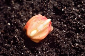Germinated Corn Grain