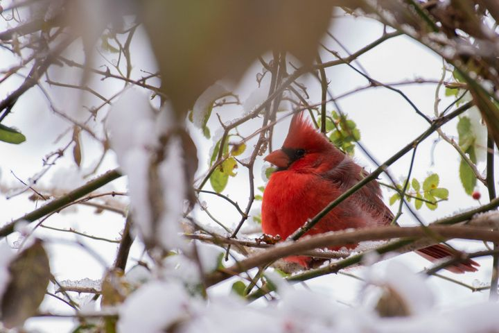 Cardinal In The Snow - Rylan's Amazing Photography