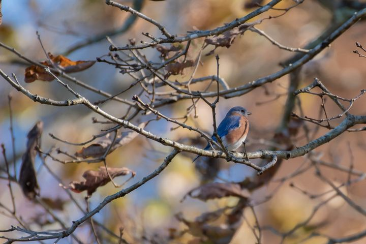 Bluebird in a Tree - Rylan's Amazing Photography
