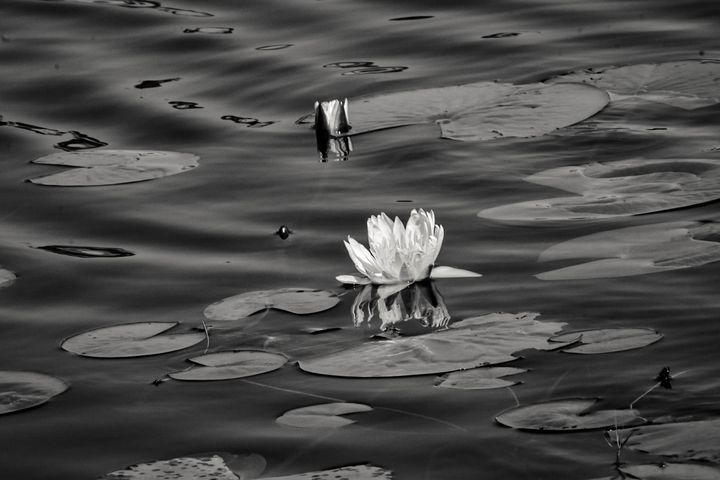 Black and White Lily Pad - Rylan's Amazing Photography