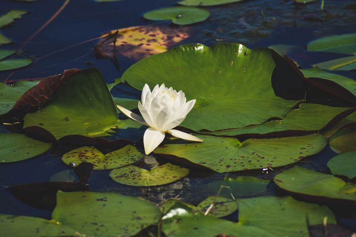 Lily Pad on a Lake - Rylan's Amazing Photography