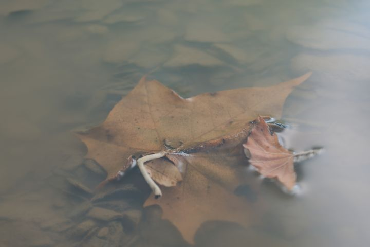 Maple Leaf in Water - Rylan's Amazing Photography