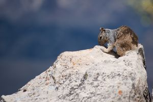 Squirrel in front of Grand Canyon