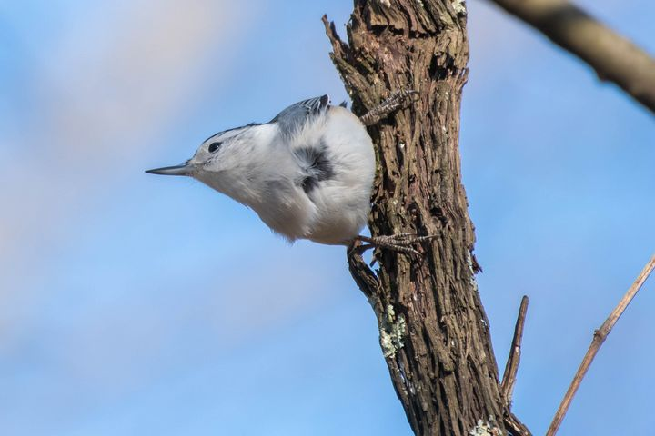 White-breasted Nuthatch - Rylan's Amazing Photography