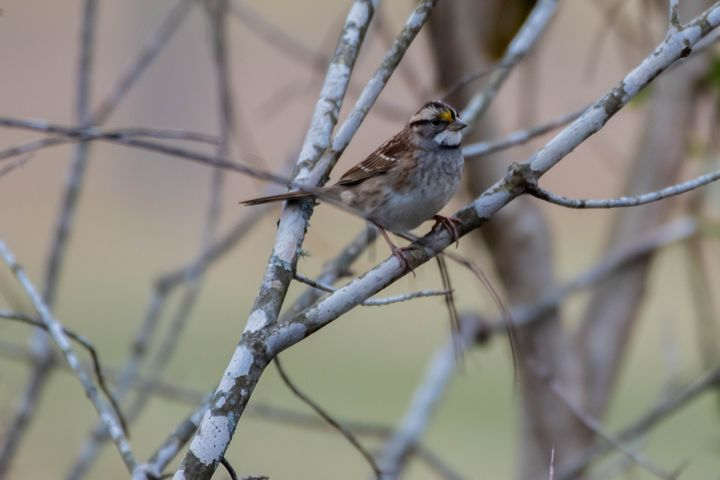 White Throated Sparrow - Rylan's Amazing Photography