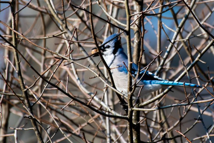 Blue Jay with an Acorn in it's Mouth - Rylan's Amazing Photography