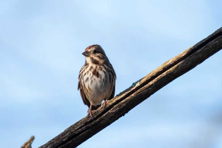 Song Sparrow on a Branch - Rylan's Amazing Photography