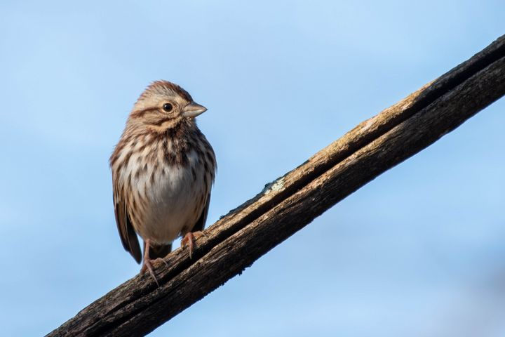 Song Sparrow - Rylan's Amazing Photography