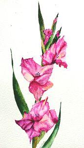 Gladiolus - Daina