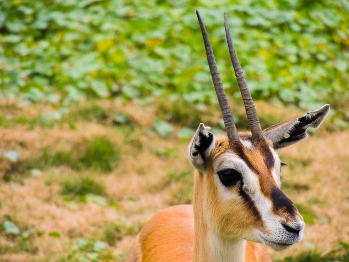 Gazelle Up Close - Aaron Alvarez