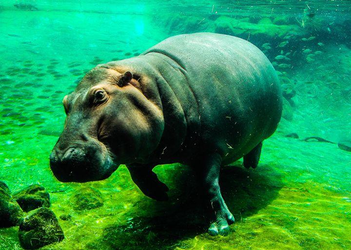 Hippo's Moment - Aaron Alvarez