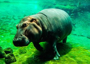 Hippo's Moment